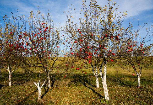 Top dressing de pommiers en automne