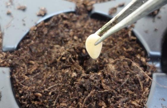 quand planter des concombres