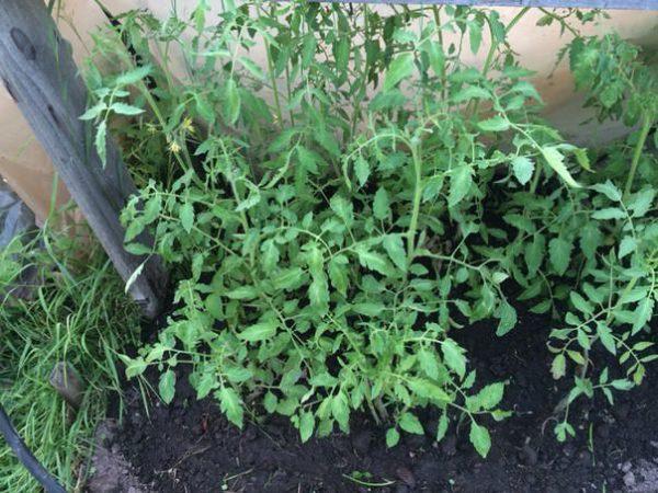 Les tomates abîmées donnent beaucoup de vert.