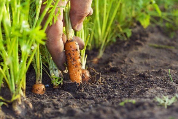 puis planter des carottes