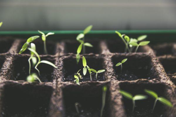 La plantation de concombre a lieu en mai