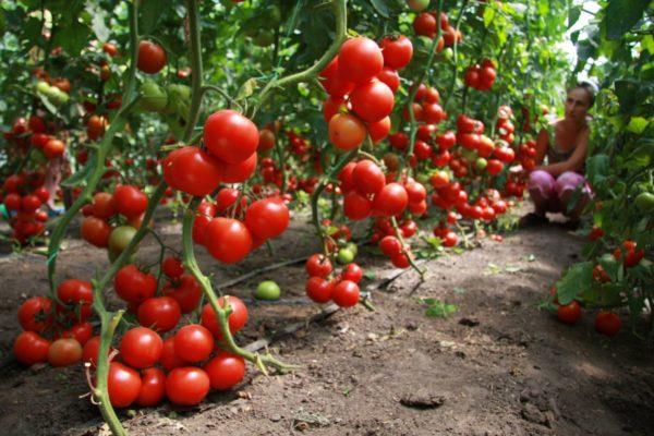 Les tomates sont considérées comme l'un des meilleurs prédécesseurs des concombres.