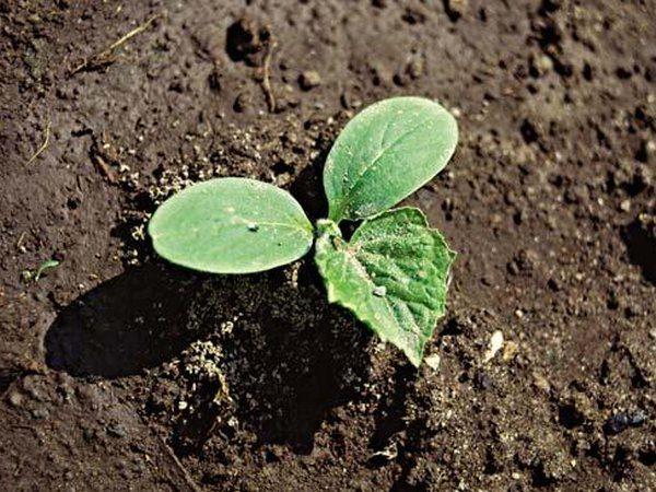 Terre pour les concombres