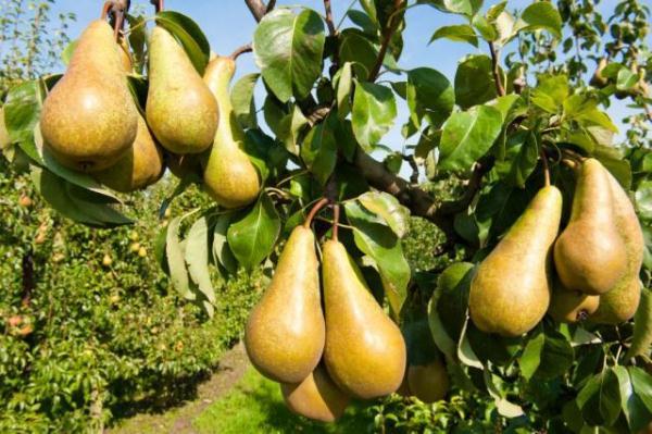 Les meilleures variétés de poires