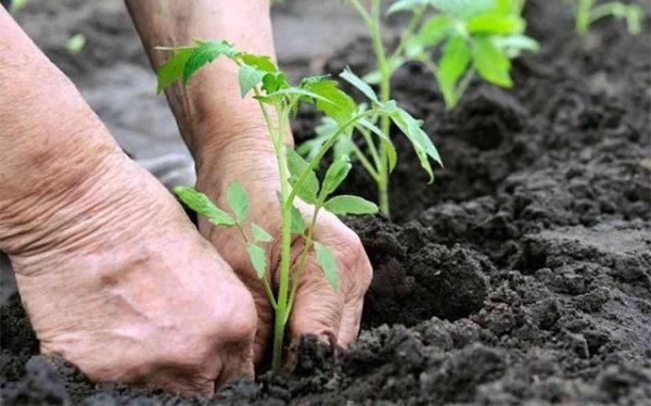 Planter dans une serre
