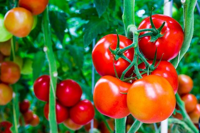 Masquage de tomates
