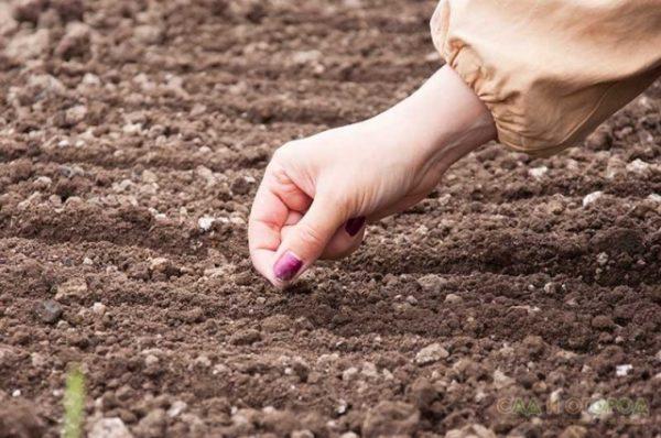 façon de planter des carottes