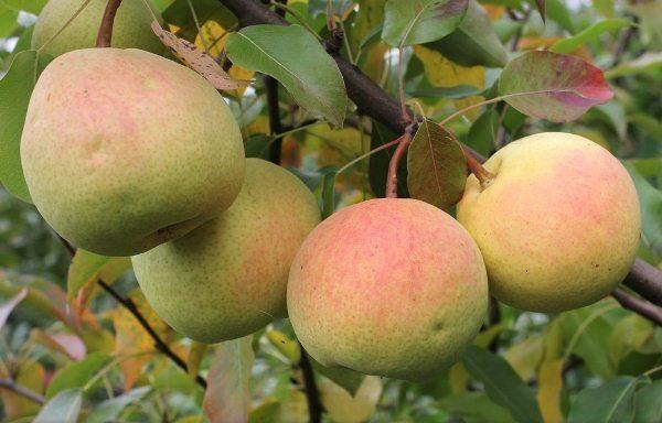 Rossoshanskaya - une poire avec les fruits de la maturation d'automne