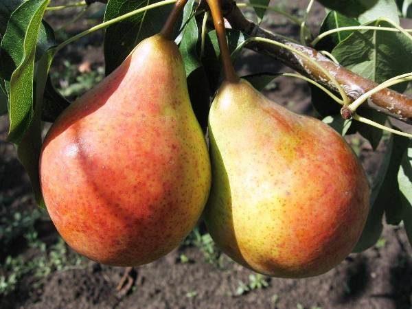 Tarte amère poire de la variété Bere Moskovskaya