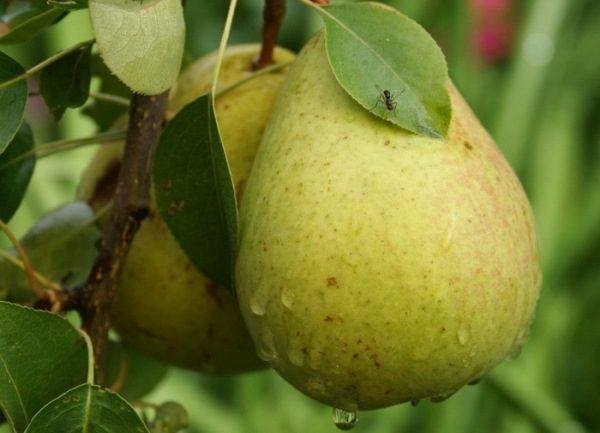La poire Bessemyanka appartient aux variétés à haut rendement