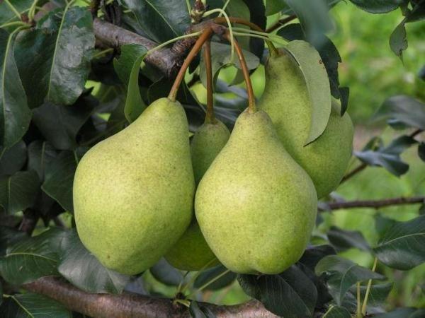 Kondratievka, variété de poire à haut rendement