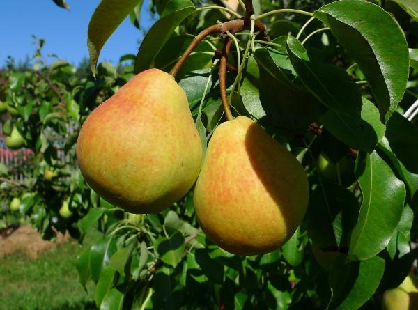 Pear Lada fait référence aux variétés du début de l'été