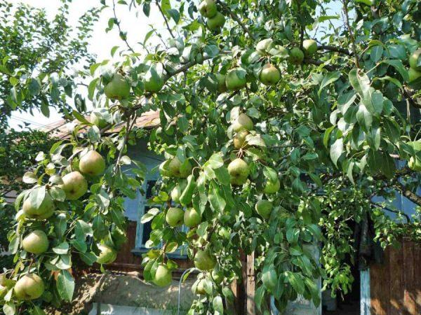 Les poires du Pass-Krasan ont besoin de beaucoup de soleil.