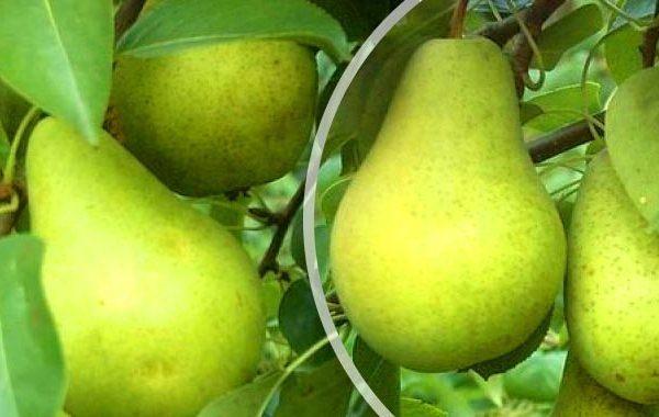 Les fruits de la variété Pervomayskaya peuvent être conservés jusqu'à 8 mois