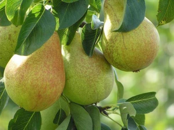 Saratovka, variété de poire résistante au gel