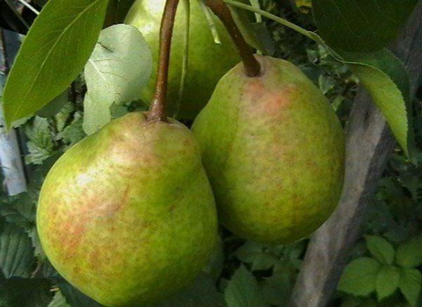 Le conte de fées de poire se caractérise par sa taille haute et très fructueuse