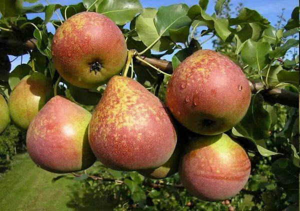 Fruit Poire Marbre