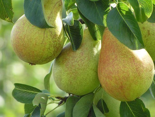 Variété de poires pour le groupe moyen Allegro