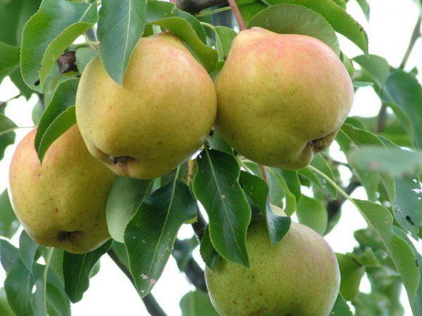 Branche de poire Moskvichka aux fruits