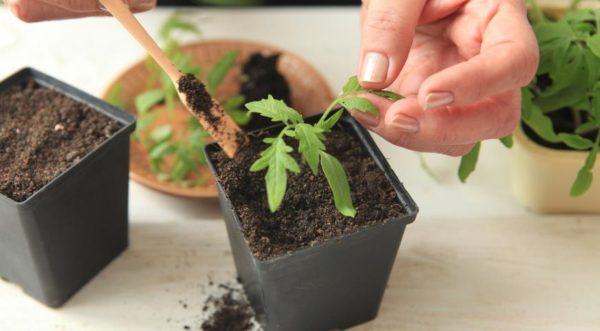 Avec une préparation du sol appropriée, les semis ne sont pas nécessaires