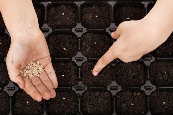 Si désiré, les graines peuvent être semées dans un récipient séparateur