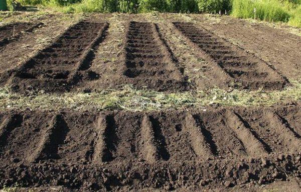 Les concombres ne poussent pas sur un sol trop sec