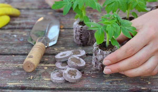 Lorsque les plants grandissent, il est nécessaire de les planter dans des gobelets séparés.