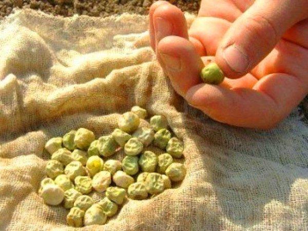 Calibrer les pois avant de planter.
