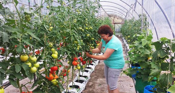 Les concombres et les tomates sont mieux isoler