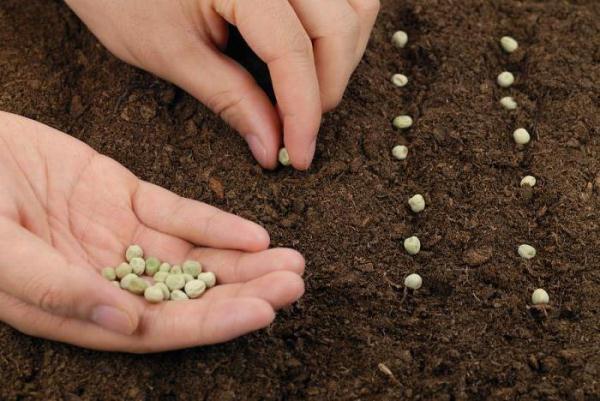 Comment planter des pois en pleine terre