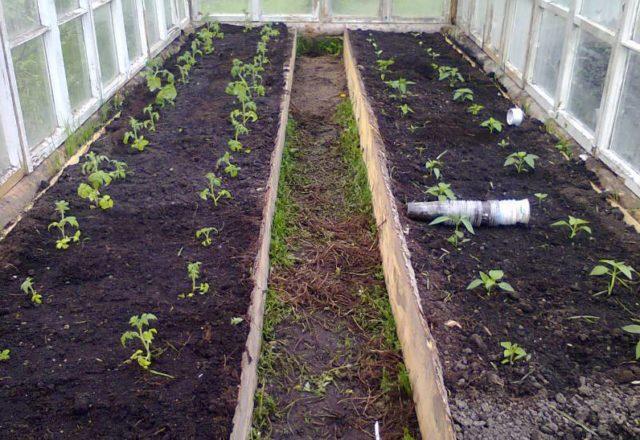 quand planter des tomates dans une serre en Sibérie