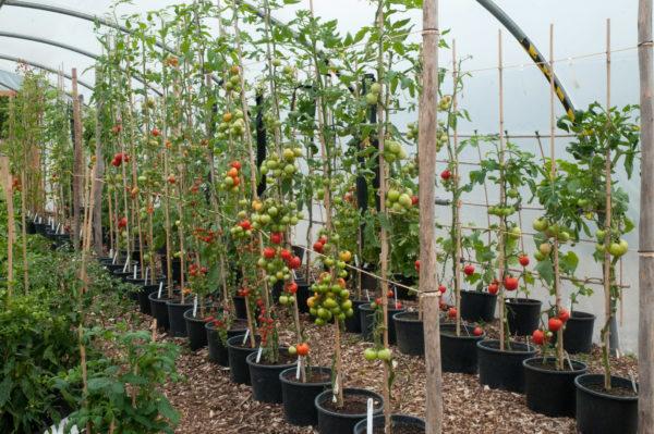 Tomates, formées dans une tige