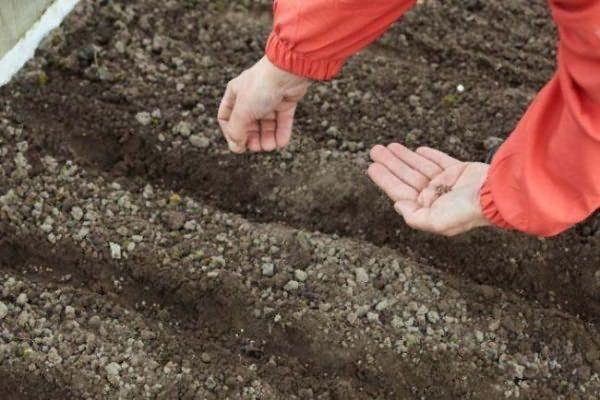 Les graines mélangées avec la terre sont dispersées dans le jardin
