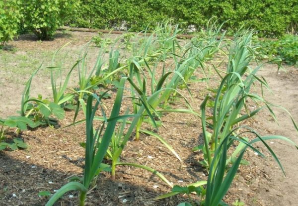 Après l'ail, les concombres sont plantés l'année prochaine
