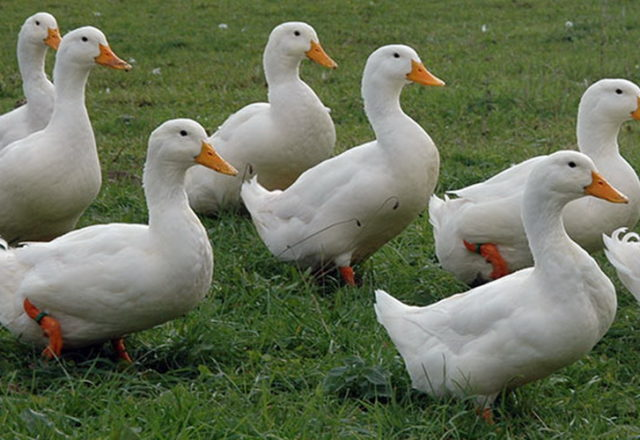 canards domestiques